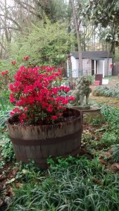 Azalea, small yard statue of lion and outbuilding