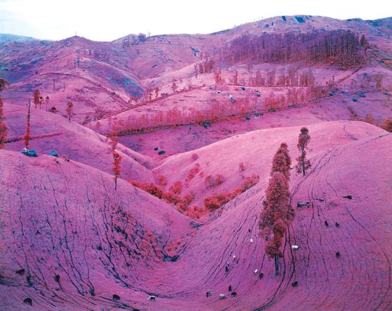 Photograph of landscape tinted pink with cattle