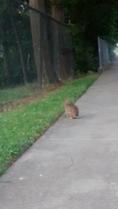 Rabbit on sidewalk by chain-link fence