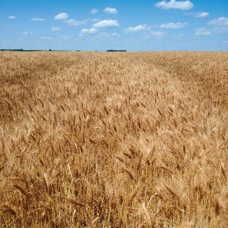 Photograph of a vast expanse of wheat in a field