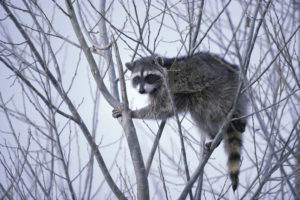 Raccoon in a bare tree